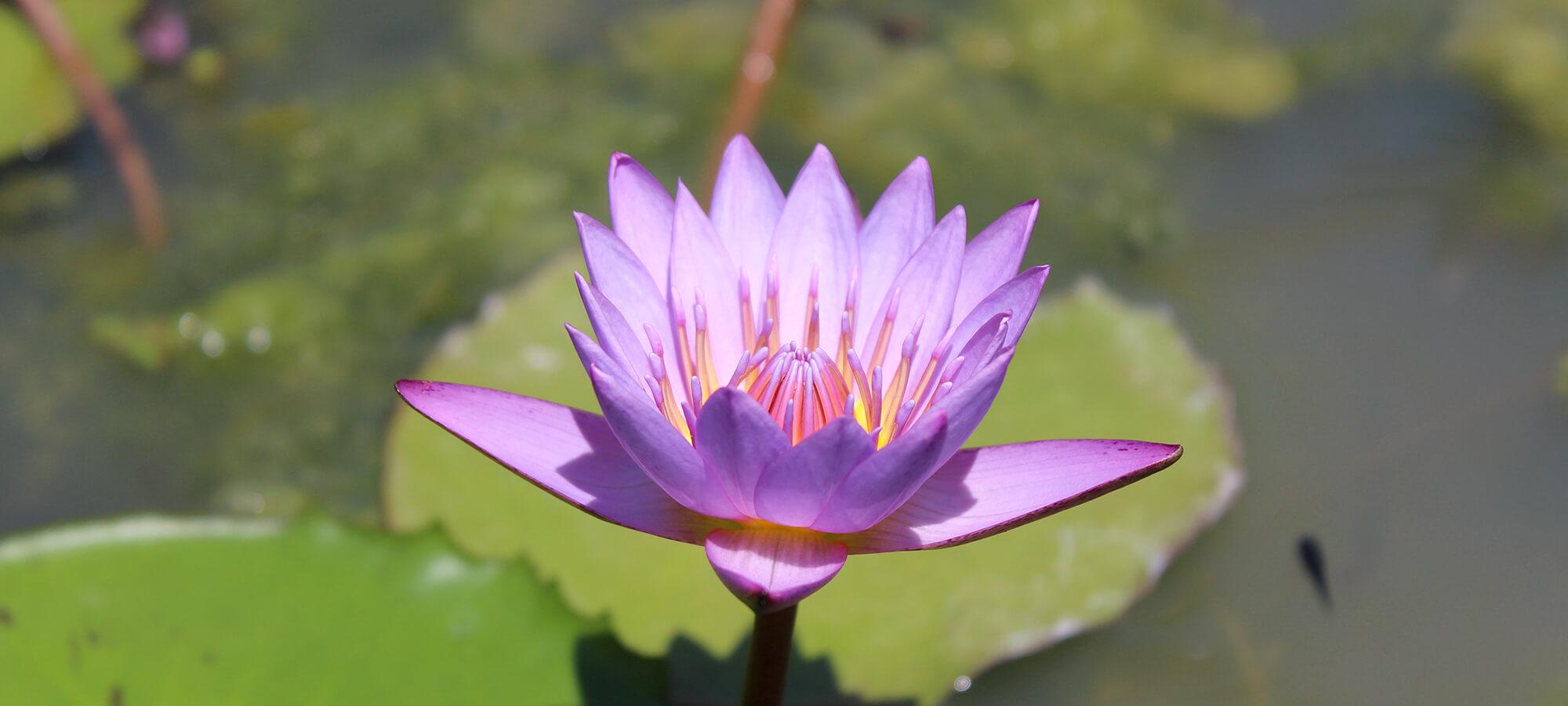 Yogaflows in Freystadt - Kontakt - Lotusblüte